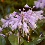 Late-Flowering Hosta thumbnail