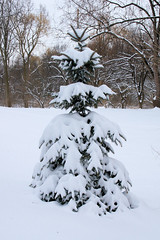 Snow-Covered-Pine_Livonia-MI_02-21-2011h (Count_Strad) Tags: winter snow scenic trees pine pines livonia mi michigan