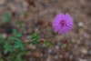 Flor Selvagem (Eduardo Bassotto) Tags: flor flores flora flower pink rosa lilas nature nationalgeographic natureza