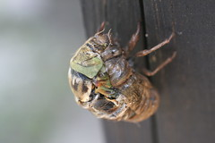 Cicada Transformation (FilmandFocusPhoto) Tags: canon sigma 50mm macro macrophotography macrophotographer macrophotographers macrounlimited outdoors outdoor nature natural naturallight availablelight photoshopfree noprocessing untouched unedited sunlight insect bug cicada molt molting