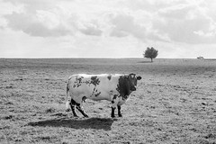 "Wallonie cow and tree (Sailing ""Footprints: Real to Reel"" (Ronn ashore)) Tags: leicam7 leica50mmsummicronf2iii primelens trixinxtol cow animal countryside rural tree field clouds horizon rangefinder film analog"
