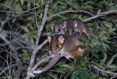 Common Ringtail Possum (Pseudocheirus peregrinus) (Heleioporus) Tags: ringtail common possum pseudocheirus peregrinus south sydney new wales