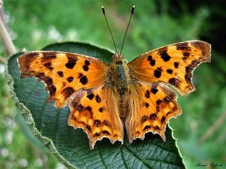 Butterfly 1455
