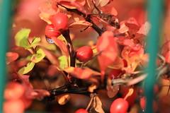 red green (Pascal Volk) Tags: berlin friedrichshain fhain stralau landzunge halbinsel berlinfriedrichshainkreuzberg herbst fall autumn otoño autumnleafcolor herbstfarben 105mm natur nature naturaleza pflanze plant planta canoneos6d sigma105mmf28exdgoshsmmacro