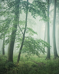 Atmosphere (Damian_Ward) Tags: ©damianward damianward beech trees chilterns chilternhills thechilterns fog mist buckinghamshire wood forest woodland