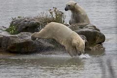 Polar Bear @ Yorkshire wildlife park (fillbee) Tags: polar bear yorkshire wildlife park water dive jump fun friends play canon eos 5 d mark iii l lens zoom englanduk zoo ursus maritimus carnivorous vulnerable species