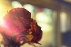 Origami Roses (flashfix) Tags: august092017 2017inphotos ottawa ontario canada nikond7100 nikon 40mm bokeh origami paper roses flowers window backlight origamiroses