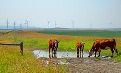 Cows and windmills (peggyhr) Tags: peggyhr cows hff puddle windmills fields fences dsc04923ab alberta canada carolinasfarmfriends parallelworldpuddlesonly groupecharliel1