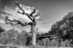 Cloud catcher (Ivan van Nek) Tags: avenuedesmartiagues lisleendodon hautegaronne france platane plataan zwartwit blackandwhite bw noiretblanc nikond7200 nikon d7200 occitanie midipyrénées