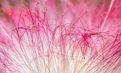 Pink life form (mdcaptures) Tags: member'schoiceabstractmacro macromondays abstract pink mimosa tree cannizaro clouds blossoms albizia julibrissin persian silk stamen anther filament pollen flower