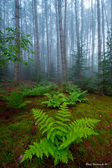 Plants on the forest floor (Earl Reinink) Tags: forest woods fog nature centralontario pine fern earl reinink earlreinink nikon pattern texture morning mistymorning