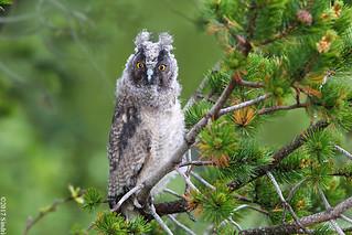 Long-eared Owl (Eyrugla) 15