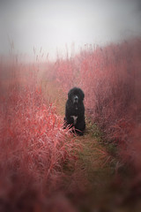 Fogged In Newf (LupaImages) Tags: dog sophie fog mist morning animal canine pet black meadow