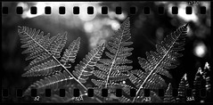 Fern on Ferrania (mkberquist) Tags: ferrania filmferrania p30 alphap30 35mm pentax6x7 6x7 fern sprocketholes panorama diafine