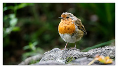 Robin (Unintended_Keith) Tags: robin dandelion bird nature wildlife green canon1dx sigma150600mms highiso