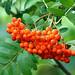 DSC08512 - Rowan Berries