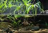 IMG_9831 (Laurent Lebois ©) Tags: laurentlebois france reptile rettile reptil рептилия tortue turtle tortoise tortuga tartaruga schildkröte черепаха chelonia sternotherus minor terrariophilie razorbackmuskturtle cinosterne installations aquarium aquaterrarium paludarium vivarium