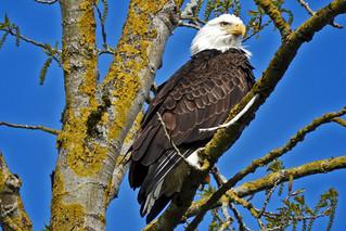 Bald Eagle 4-6-17 Steigerwald Lake National Wildlife Refuge