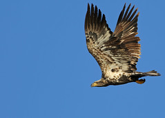 Immature Bald Eagle...#16 (Guy Lichter Photography - 3.6M views Thank you) Tags: canon 5d3 canada manitoba hecla wildlife animal animals birds eagle eagles immature