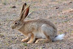 (Victoria.....a secas.) Tags: conejo rabbit