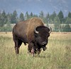 2017-08-18-0240 (mech_rosey) Tags: animal bison country elkranchflats grandtetons location usa wy