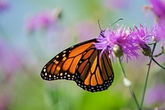 Monarch in the Pastels (imageClear) Tags: pastels beauty nature flowers feeding lovely monarch aperture nikon d600 105mm imageclear flickr photostream