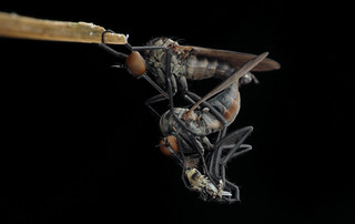 舞虻 Empididae