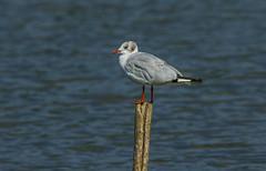 Black-headed gull (Bojan Žavcer) Tags: gull blackheadedgull bird animal wildlife nature galeb canoneos7dmarkii ef600mmf4lisusm