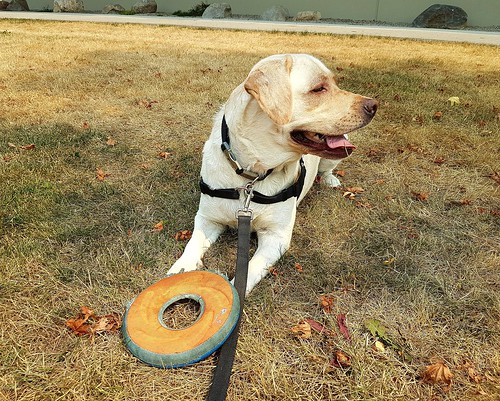 Gracie guarding her Frisbee