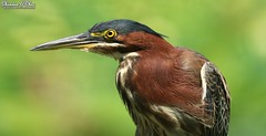 """""""Ah but I may as well try and catch the wind."""" (Shannon Rose O'Shea) Tags: shannonroseoshea shannonosheawildlifephotography shannonoshea shannon greenheron heron bird beak feathers wings yelloweye colorful green bokeh nature wildlife waterfowl flickr wwwflickrcomphotosshannonroseoshea wildwoodlake harrisburg pennsylvania outdoors outdoor butoridesvirescens windy art wild wildlifephotography photo photography profile closeup close canon canoneos80d canon80d eos80d 80d canon100400mm14556lisiiusm dauphincounty magicbranch catchthewind breezy breeze"""