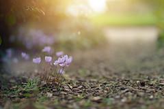 September Walk.. (KissThePixel) Tags: september septembersun sun sunlight light bokeh macro pov dof dofalicious depthoffield delicate flower flowers perspective nikon nikondf sigma sigmaart sigmaf14 14 f14 fullframe nature soft pastel 85mm