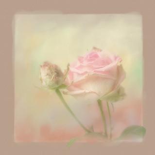 Monday rose