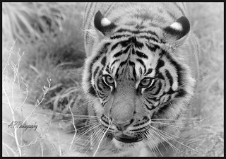 14.09.17 London Zoo..Tiger ..