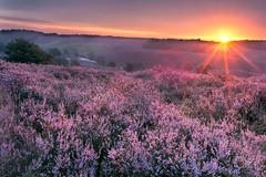 Deep Purple (Bram de Jong) Tags: heather posbank sunrise purple landscape holland gelderland outside outdoors nikon 845filter gradnd multipleexposures sun flower early ngc