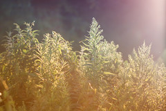 Those Summer Memories (jasohill) Tags: glow usa 2017 color sunset vermont nature photography life green weeds summer dream
