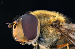 Hover Fly portrait (John Joslin) Tags: insect macro nature closeup delicate eyes extreme fly focus hoverfly hairy wings little tiny wildlife wing wild antenna portrait stacking stack small
