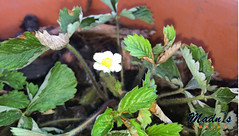 Strawberry: Fraises de bois (marypearlnicol@ymail.com) Tags: strawberry fraises de bois zone 11b tropics fruit flower