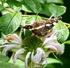 2017 Germany // Unser Garten - Our garden // im August // Echinacea (maerzbecher-Deutschland zu Fuss) Tags: 2017 garten natur deutschland germany maerzbecher garden unsergarten august echinacea schmetterling