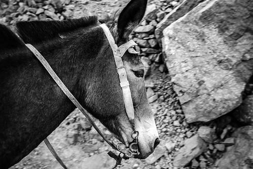 Abdrahims mule doing a tough job, Morocco 2017