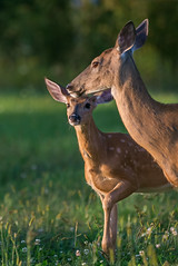 Clover Patch (Jenna.Lynn.Photography) Tags: animal deer buck fawn doe country clover patch green orange nose ears cute adorable mom baby momma family nature outdoors outside grass flower flowers portrait summer sun light shadow dof golden hour wildlife wild sweet love spots young canon
