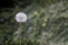 Dandelion Clock (4foot2) Tags: dandelionclock dandelion seeds plant garden canon5d canon helios helios44 m39 blur focus outoffocus bokeh macro 2017 fourfoottwo 4foot2 4foot2photostream 4foot2flickr гелиос гелиос44 soviet ussr fsu russianlens