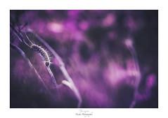 Chenille peut rien (Naska Photographie) Tags: naska photographie photo photographe paysage proxy proxyphoto printemps ma macro macrophotographie chenille insectes extérieur nature sauvage minimaliste minimalisme color couleur bokeh flare pink rose monochrome