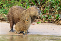 Capybara (Glenn Bartley - www.glennbartley.com) Tags: animal animalia atlanticrainforest brazil glennbartley mammal nature neotropical pantanal rainforest southamerica wildlife