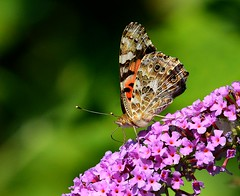 Red Admiral Butterfly (KoolPix) Tags: butterfly insect wings antenna flowers colorful mnsa marinenaturestudyarea koolpix jaykoolpix naturephotography nature wildlife wildlifephotos naturephotos naturephotographer animalphotographer wcswebsite nationalgeographic fantasticnature amazingnature wonderfulbirdphotos animal amazingwildlifephotos fantasticnaturephotos incrediblenature naturephotographywildlifephotography wildlifephotographer mothernature