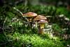 mushrooms (Thilo Sengupta) Tags: pilz pilze mushroom mushrooms natur nature pflanzen plants nice nicepic picoftheday canon canoneos80d lightroom makro macro grün green