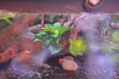 IMG_2947 (artistshell) Tags: 樹蛙 生態缸 莫氏樹蛙