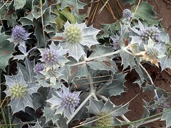 Eryngium maritima - 1 (the justified sinner) Tags: justifiedsinner eryngiummaritima seaholly flower plant barmouth wales panasonic gh2 gx7 minolta macro rokkor md 50 35