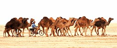 Magical Places and Things - Tunisia (9) (The Spirit of the World) Tags: camels herding desert saharadesert local motorcycle fun humorous tunisia candid northafrica africa animals desertscene machine