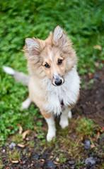 Fsmo the Sheltie. *explore* (Dogloverlou) Tags: puppy sheltie shetland sheepdog sable 2017