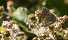 Ringlet-4184 (WendyCoops224) Tags: 100400mml 80d canon eos localbirdswlldlife minibeasts ©wendycooper butterfly ringlet